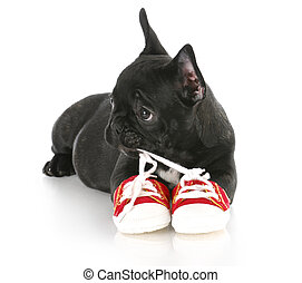 puppy chewing shoes - french bulldog puppy chewing on pair...