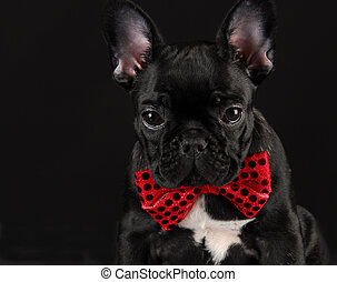 dog wearing red bowtie - french bulldog wearing red bowtie...