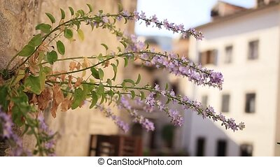 Violet flowers grow from the wall in Kotor. Flowers and...