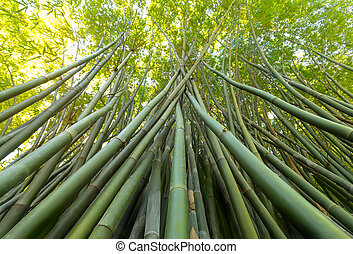 Upwards angle of a bamboo forest - Group of bamboo trees...
