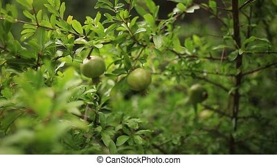The medium-sized pomegranate fruit on the tree green in...