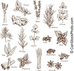 Sketch spices and herbs vector flavorings - Herbs or spices...