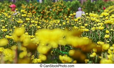 Yellow Chrysanthemums on Street Market against People - NHA...