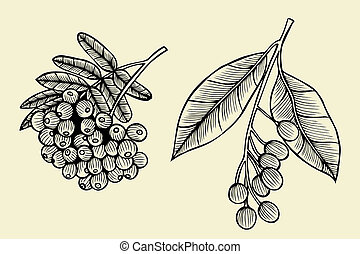 Hand sketch - branch of the rowanberry. illustration...