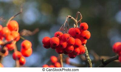 Bunch of red rowan. 4K. - Bunch of red rowan. Shot in 4K...