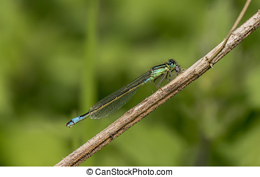 Common blue damselfly resting on a twig