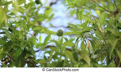 Green mandarins on a tree. Unripe tangerine. Montenegrin...