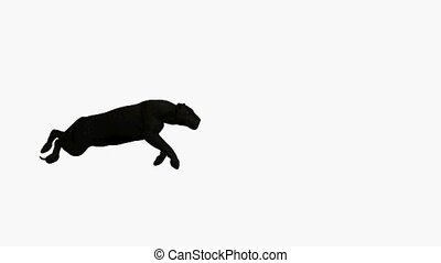 Black Leopard Running - Black leopard running on a white...