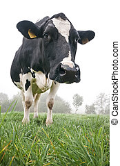 Cow in the meadow - cow in meadow with white background