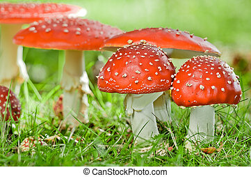 Fly agaric - group of fly agaric in grassland