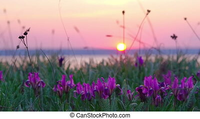 Violet Irises on the Meadow.