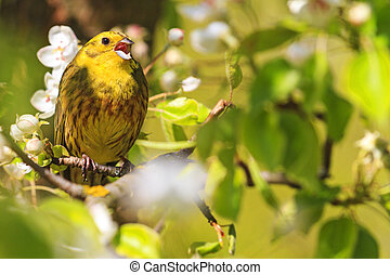 yellowhammer of spring pear blossom sings the song,forest...