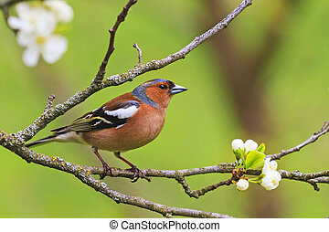 colored songbird sitting on a branch of flowers,forest birds...