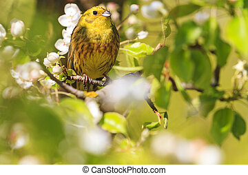 yellowhammer of spring pear blossom,forest birds and...