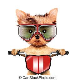 rigolote, chien, coureur, Vélo,  googles, aviateur
