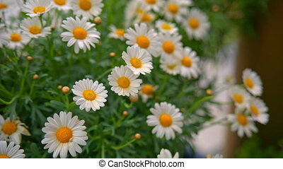 Beautiful chamomile flowers close up