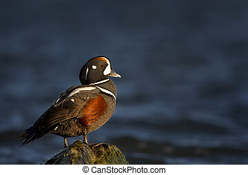 Harlequin Portrait - A male Harlequin Duck stands on a jetty...