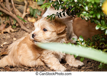 Playing havanese puppy hiding in a bush.