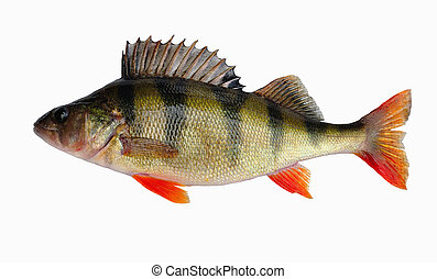River perch one of the most ubiquitous freshwater fish