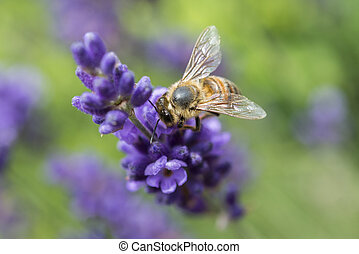 Closeup of a bee on a lavender flower
