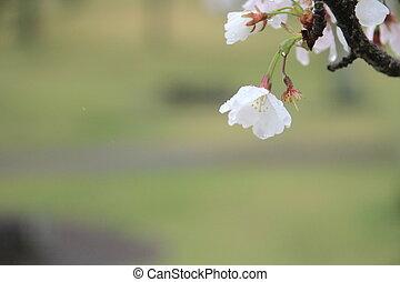cherry blossoms in Sakura no sato, Izu, Shizuoka, Japan...
