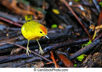 Male Yellow Warbler on Santa Cruz Island in Galapagos...