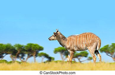 Nyala antelope (Tragelaphus angasii). Wildlife animal.