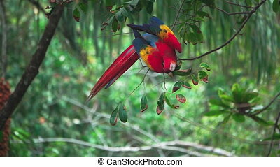 Slow-motion of Macaw feeding over tree - Closeup view in...