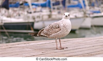 Gull standing on the pier against blurred sailboats. 4K shot...