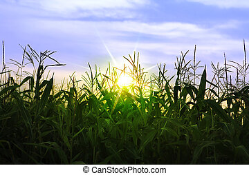 corn growing up in summer - A green field of corn growing up...