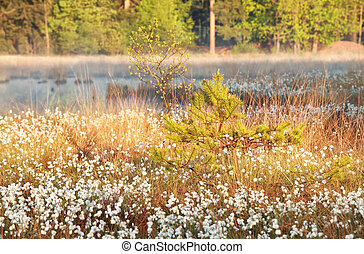 sunlight on swamp with cotton-grass in spring
