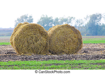 Rolls of haystacks on the field after harvesting wheat....
