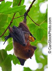 Fruit bat (pteropus giganteus) hanging on the tree