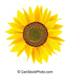 Sunflower flower or Helianthus isolated on white background...