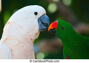 Cockatoo and eclectus parrot - Cockatoo and the male...