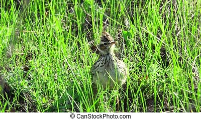 Wood Lark (Lullula arborea)on a green grass