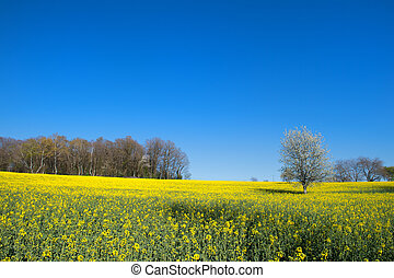 Blossom trees in rapeseed field - Rapeseed field in France...