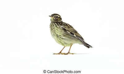 Wood Lark (Lullula arborea) isolated on a white background