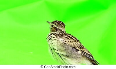Wood Lark (Lullula arborea) isolated green  screen