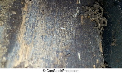 Termite nesting on the wood for building a home.