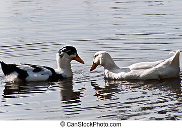 Enamoured - Two wild ducks look against each other