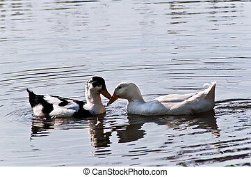 Enamoured 2 - Two wild ducks look against each other