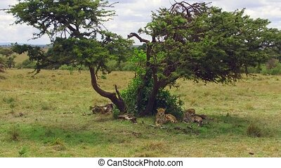 cheetahs lying under tree in savanna at africa - animal,...