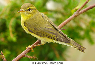 chiffchaff - Yellow chiffchaff among foliage close up