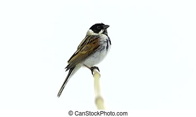 reed bunting isolated on a white background