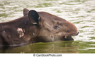 Wild wounded tapir crossing a river - Closeup of wild...