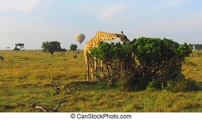 giraffe eating tree leaves in savanna at africa - animal,...