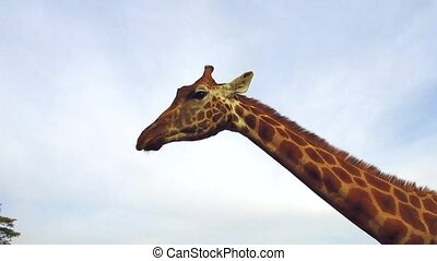 person feeding giraffe showing tongue in africa - animal,...