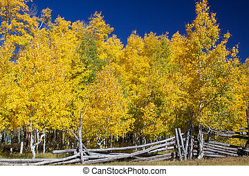 Aspen Grove in Autumn - an aspen grove with foliage in...
