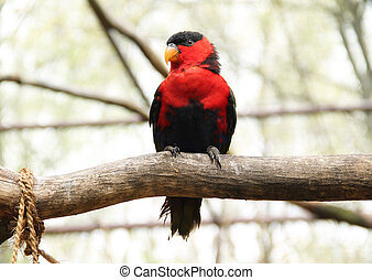 back-capped lory (Lorius lory) sitting on the branch